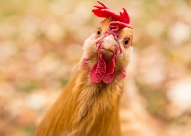 GRIPPE AVIAIRE : un cas a été détecté sur un élevage à Grenade, recensement des propriétaires d'oiseaux.